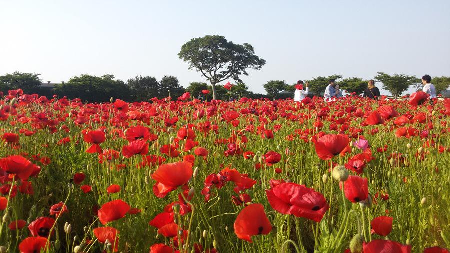 렛츠런팜 양귀비밭에서의 추억 이쁘게 남겨 보세요!