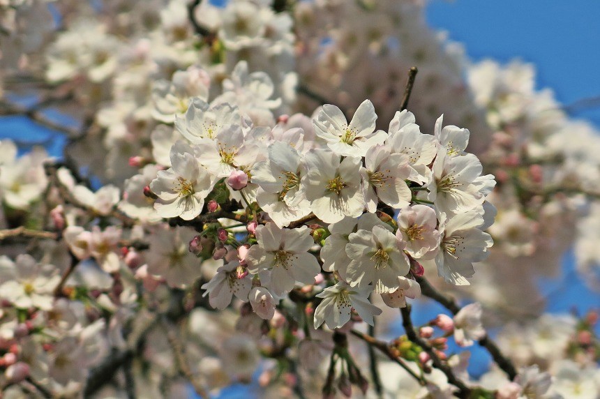 대전벚꽃명소 테미공원의 벚꽃