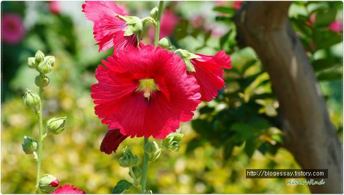 빨간접시꽃
