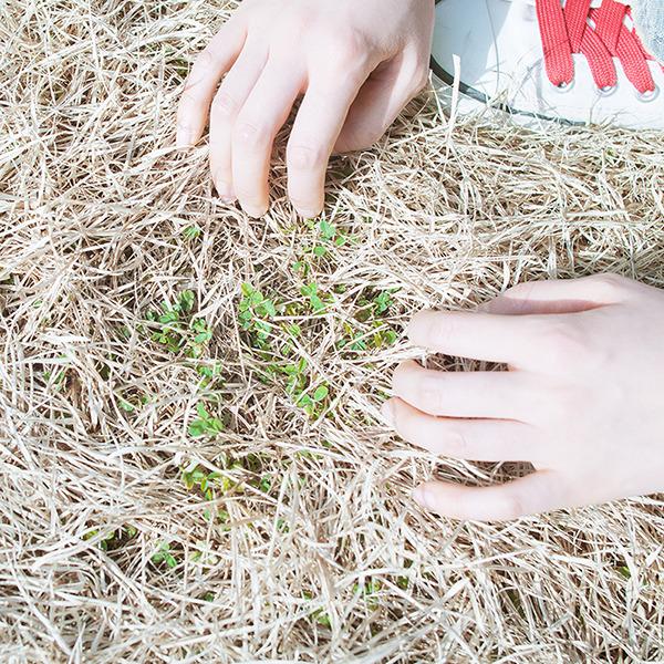 마른풀더미 사이로 새싹이 돋아나고 있는사진.