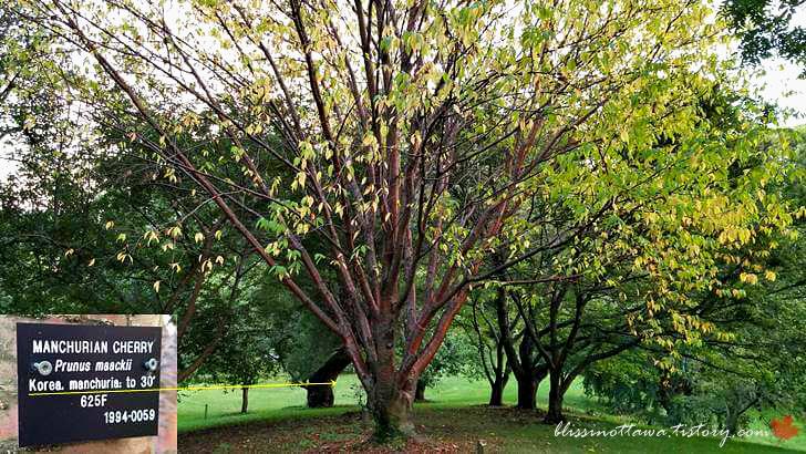 한국 개살구나무입니다