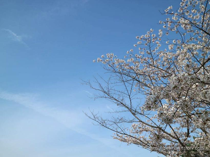 파란 하늘 아래 벚꽃나무