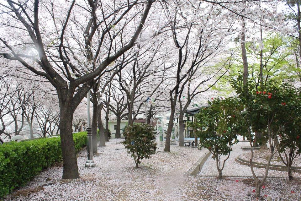 새하얀 벚꽃 눈세상