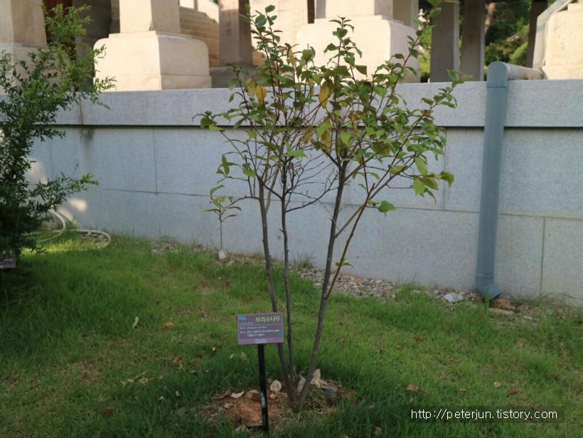 보리수나무