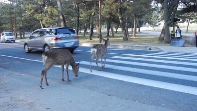 길 건너는 사슴